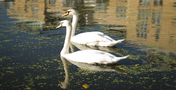 Chalico Walk, Brentford Lock West (Swans)